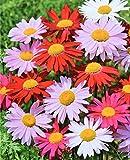 Chrystanthemum persiano'Robinson' - mix di varieta; Margherita di piretro, Margherita dipinta, fiore di insetto persiano, pellet persiano, pianta di polvere di insetto caucasica - 180 semi