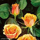 Edelrose Tea Time in Gelb & Orange - Rose leicht duftend - Mehrfarbige Duftrose im 5 Liter Container von Garten Schlüter - Pflanzen in Top Qualität