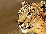 Artland Qualitätsbilder I Glasbilder Deko Glas Bilder 80 x 60 cm Tiere Wildtiere Raubkatze Foto Ocker A6ZS Schneeleopard_Sepia