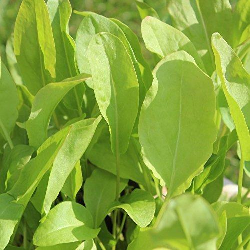1000 Samen Wiesen-Sauerampfer – Rumex acetosa, ideal als Salatzusatz