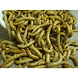 Giant Mealworms - 1 Tub of 55g 25-40mm