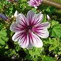 lichtnelke - Malve ' Zebrina ' (Malva sylvestris) von Lichtnelke Pflanzenversand bei Du und dein Garten