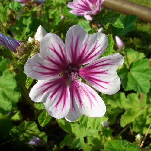 Garten-Malve Weiße Blüten mit leuchtend violetten Streifen