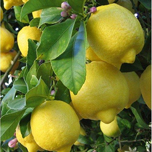 Citrus lemon - Limonero - Maceta de 16cm