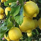 Citrus lemon - Limonero - Maceta de 26cm - 120cm de altura