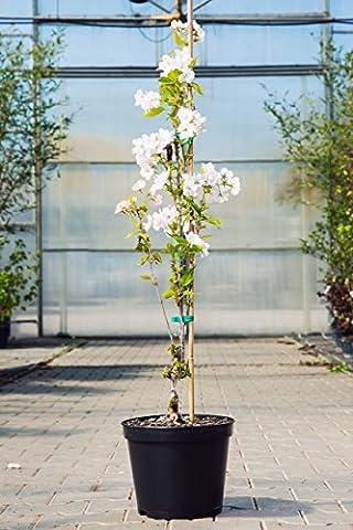 Japanische Säulenkirsche, 80-100 cm, Zierkirsche winterhart-Frühblüher, Busch für Sonne, Gartenpflanzen blühend, Prunus serrulata Amanogawa, im Topf