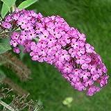 WuWxiuzhzhuo Big Förderung 20Pcs Colorful Butterfly Bush Samen Buddleia Flower Fragrant Garden Plant Samen 1