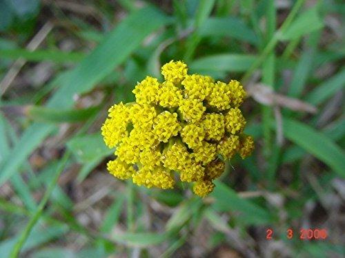 Athanasia dentata - succulent - 10 graines