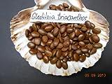 50 Samen Gleditsia triacanthos, Christusdorn, Lederhülsenbaum
