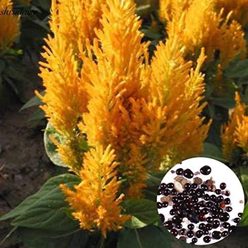 Portal Cool Semillas 50pcs Anual Jardín Balcón decorativo Cresta de gallo Celosia de flor S5Dy