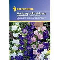 Campanula medium Marienglockenblume Prachtmischung