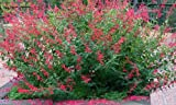 Sage Pineapple herb cerise flowers loved by bees 9cm pot
