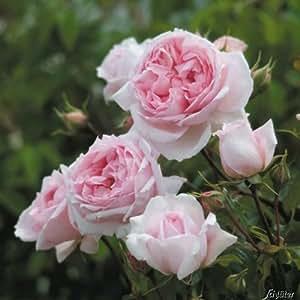 David Austin-Rose 'The Wedgwood Rose'