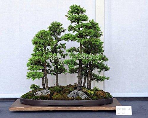 semillas-de-bonsai-50-pc-japonesa-pino-abeto-blanco-pinus-parviflora-semillas-de-arboles-de-hoja-per