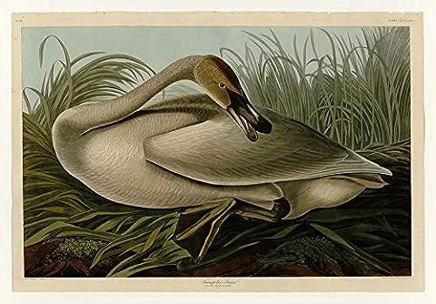 Le Musée de sortie–Audubon–Cygne trompette _ Plaque–376, toile galerie enveloppé.