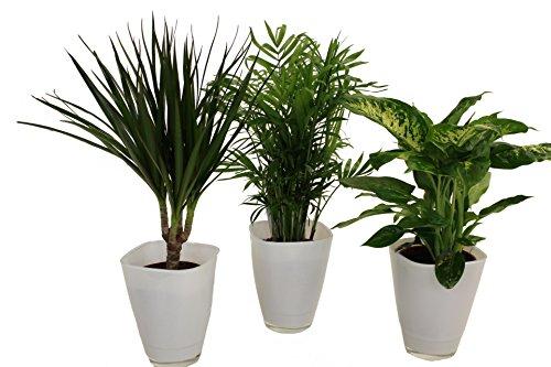 Amazon.de Pflanzenservice Fresh-Air-Trio, Dracena fragrans