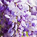 Wisteria sinensis - Blauregen 40-60cm im 2L Topf gewachsen mit schönen Blütentrauben von Pflanzen für Dich auf Du und dein Garten