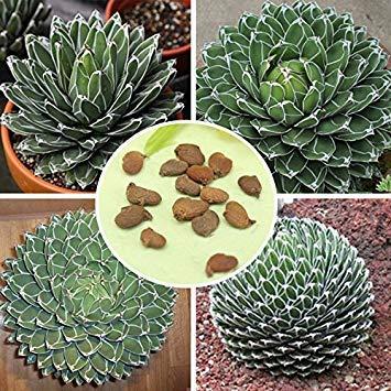 PLAT FIRM 10pc Agave Victoriae Reginae seed Maguey seed ucculent seed / 10pc Agave Victoriae Reginae seed ucculent Samen: Agave, Wurzel- und TEM- hort oder WEL