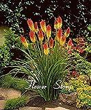 Fash Lady Kniphofia Blumensamen Red hot pokers-Pflanze Torch Flower So ziemlich lange Blom feurig-hued Blume leuchten Landschaft Kostenloser Versand