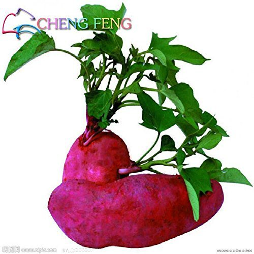 SwansGreen Lila: 50pcs/bag High Yield Gemüsesamen Ipomoea Batatas Samen Riesen Süßkartoffel Pflanze Essbare grünes Blattgemüse