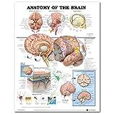 KUNSE 60X80Cm Anatomie des Gehirns Poster Anatomische Seidentuch Diagramm Menschlichen Körper Midcal Pädagogische Dekor