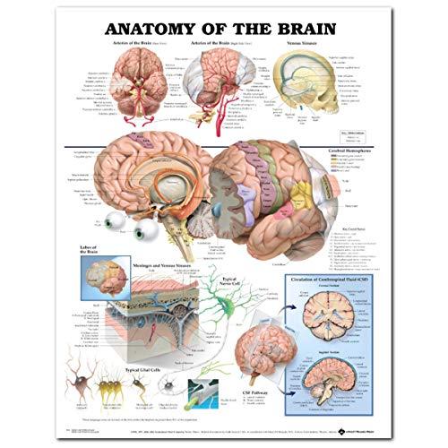 CCChaRLes 60X80Cm Anatomie Des Gehirns Poster Anatomische Seide Tuch Diagramm Menschlichen Körper Midcal Pädagogische Dekor -