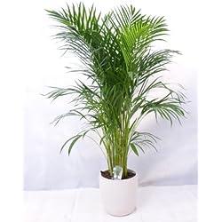 echte Pflanze - Goldfruchtpalme 130 cm Chrysalidocarpus lutescens - Areca Palme - Zimmerpflanze