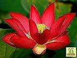 Liveseeds - Ciotola di loto / acqua giglio fiore / bonsai Lotus / stagni / 5 semi freschi / Yimeng loto rosso