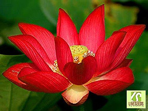 liveseeds-ciotola-di-loto-acqua-giglio-fiore-bonsai-lotus-stagni-5-semi-freschi-yimeng-loto-rosso