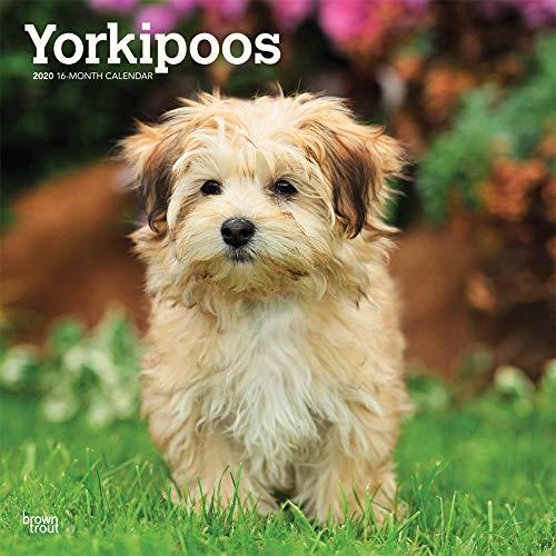 Yorkipoos - Yorkie Poos 2020 - 16-Monatskalender mit freier DogDays-App: Original BrownTrout-Kalender [Mehrsprachig] [Kalender] (Wall-Kalender) -