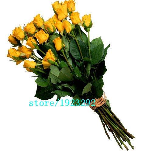 AGROBITS 100 Blue Dragon Rosa semina, bella striscia Rare cespuglio di rose pianta, giardino o fiore cortile: grandi promozioni