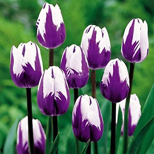 Keptei Samenhaus- 10/20/30/50/100 Stücke Tulpenzwiebeln Samen Tulpenmischung Blumenpflanze Bonsai Saatgut winterhart mehrjaehrig duftend
