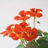 Pinkdose® Pinkdose Blumensamen: Kapuzinerkresse Mehrjährige Samen Garten Samen Winter Pflanzen Samen Für Balkon (25 Packete) Garten Pflanzensamen Von