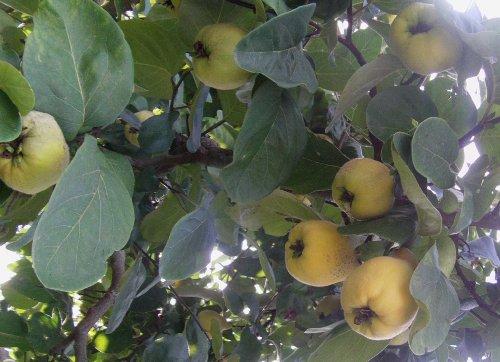 Riesen-Quitte Vranja-Quittenbaum - birnenförmige Früchte 3 frische Samen *RAR*