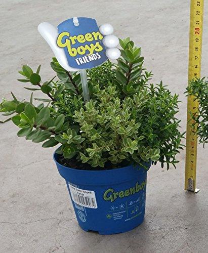 1-pianta-di-hebe-green-boys-1-pianta-vaso-12cm-sempreverdi-mix-aiuole-giardino