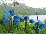 Portal Cool Himalayan Blue Poppy Meconopsis betonicifolia selvaggio semi del fiore 50 Bn