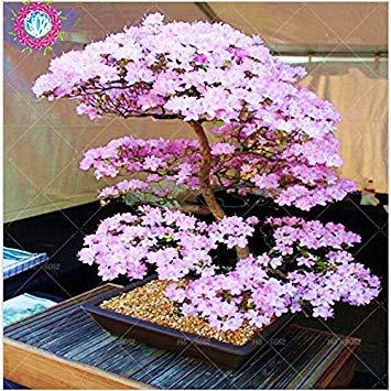 Bonsai japonés árbol de Sakura Semillas Semillas raras japonesas flores de cerezo Flores en bonsai, Rosa Prunus serrulata 10 semillas / pack