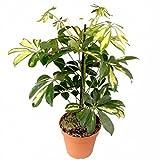 piante ornamentali Schefflera