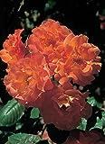 Rose Westerland ® Strauchrose mit ADR Auszeichnung Blüten-Farbe Orange-Gelb ? Winterharte Blume mit starkem Duft & ganzjähriger Pflanzzeit von Garten Schlüter - Pflanzen in Top Qualität