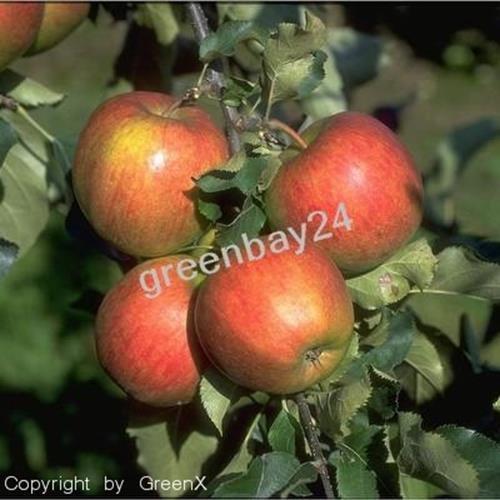 Jonagold Apfel Apfelbaum Obstbaum 100/150 cm