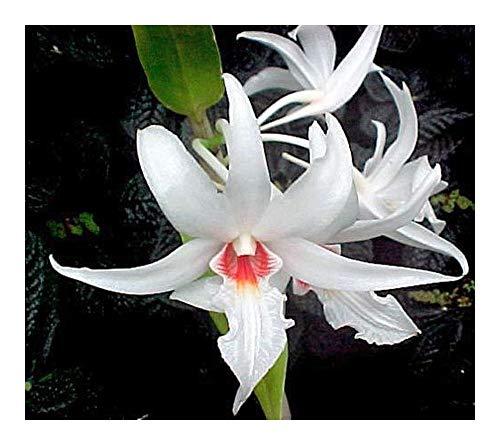 Dendrobium draconis - orchidées - 100 graines
