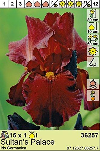 Iris Germanica Schwertlilie/Bartiris
