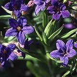 Plant World Seeds - Lithodora 'Starry Night' Seeds