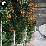 ShopMeeko Seeds:Buy Trum Creeper Tree Semente 120pcs Plant Campsis Grandiflora Ling Xiao Flower