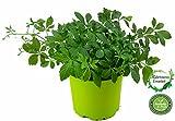Jiaogulan Pflanze Gynostemma pentaphyllum