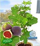 BALDUR-Garten Frucht-Feige'Rouge de Bordeaux' groß, 1 Pflanze Ficus carica Feigenbaum winterhart