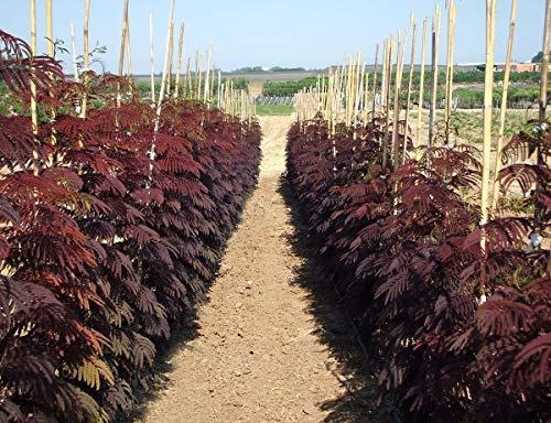 Roter Seidenbaum \'Summer Chocolate\' - Kräftige Pflanze im 5 L Topf, Gesamthöhe ca. 70-80 cm