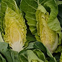 ScoutSeed Paquete Vegetable Seed Col (Spring Greens) Winter Green Kings\'s Seeds