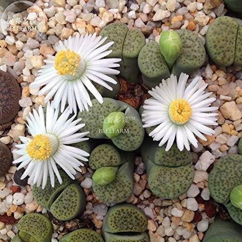Go Garden Bellfarm bonsaïs Lithops salicolasucculent vivant Rare Mesembs Pierres vivantes Cactus Décore Haute Germination -10pcs / Pack