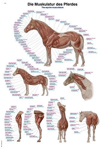 """Lehrtafel """"Die Muskulatur des Pferdes"""", 50x70cm"""